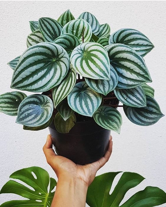 plantas ornamentais - vaso