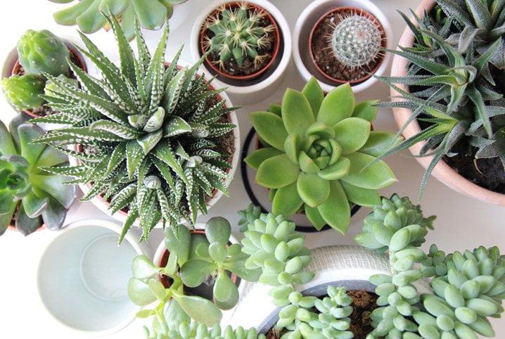 plantas ornamentais - suculentas