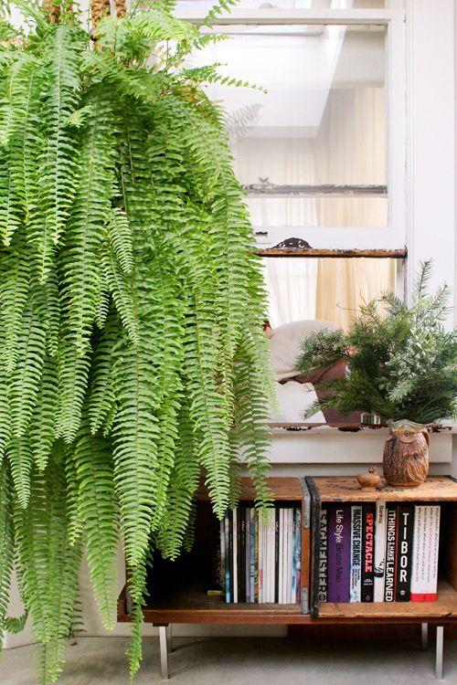 plantas ornamentais - samambaia