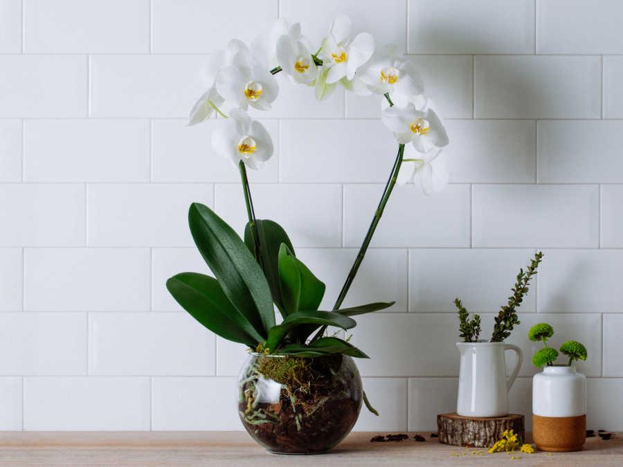 plantas ornamentais orquídeas