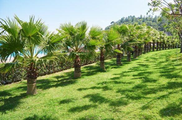 Tipos de palmeiras para decorar sua casa.